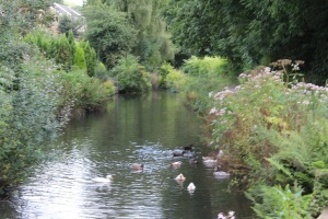 Ducks at Trebanos