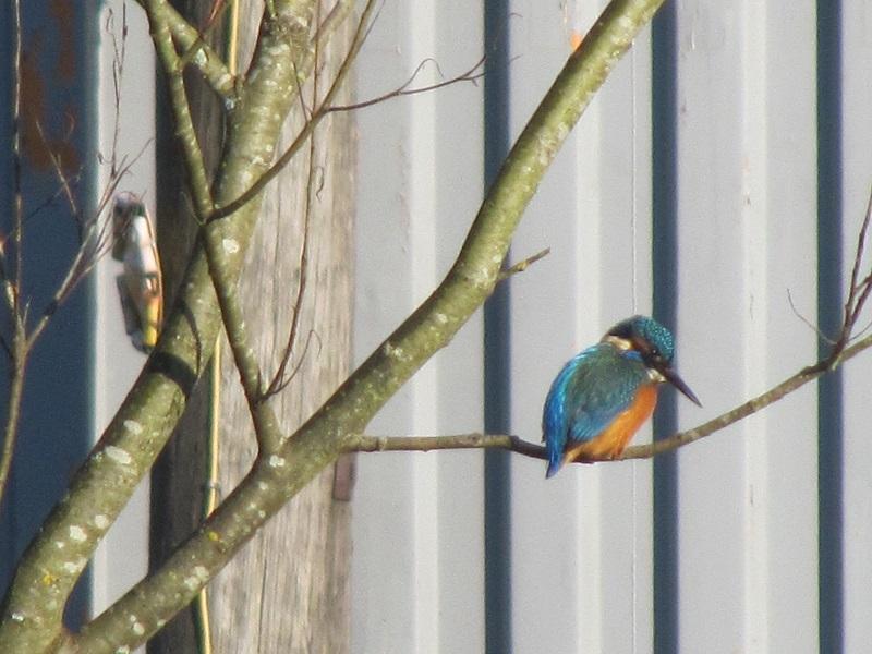 Kingfisher Clydach 29.12 (14)
