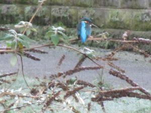Kingfisher, Clydach