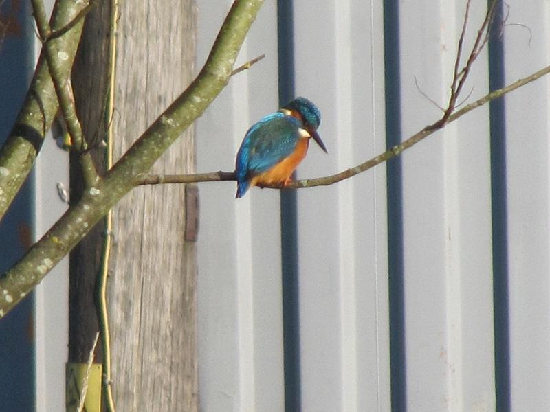 Kingfisher Clydach 29.12 (21)