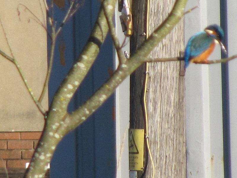 Kingfisher Clydach 29.12 (22)