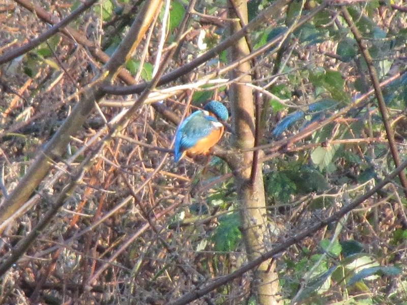 Kingfisher Clydach 29.12 (24)