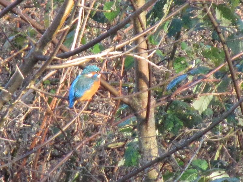 Kingfisher Clydach 29.12 (26)