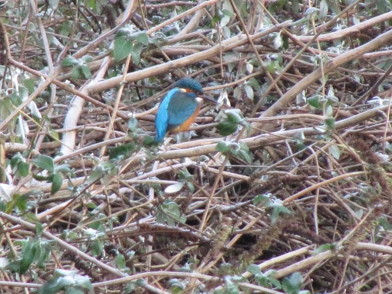 Kingfisher Clydach 29.12 (36)