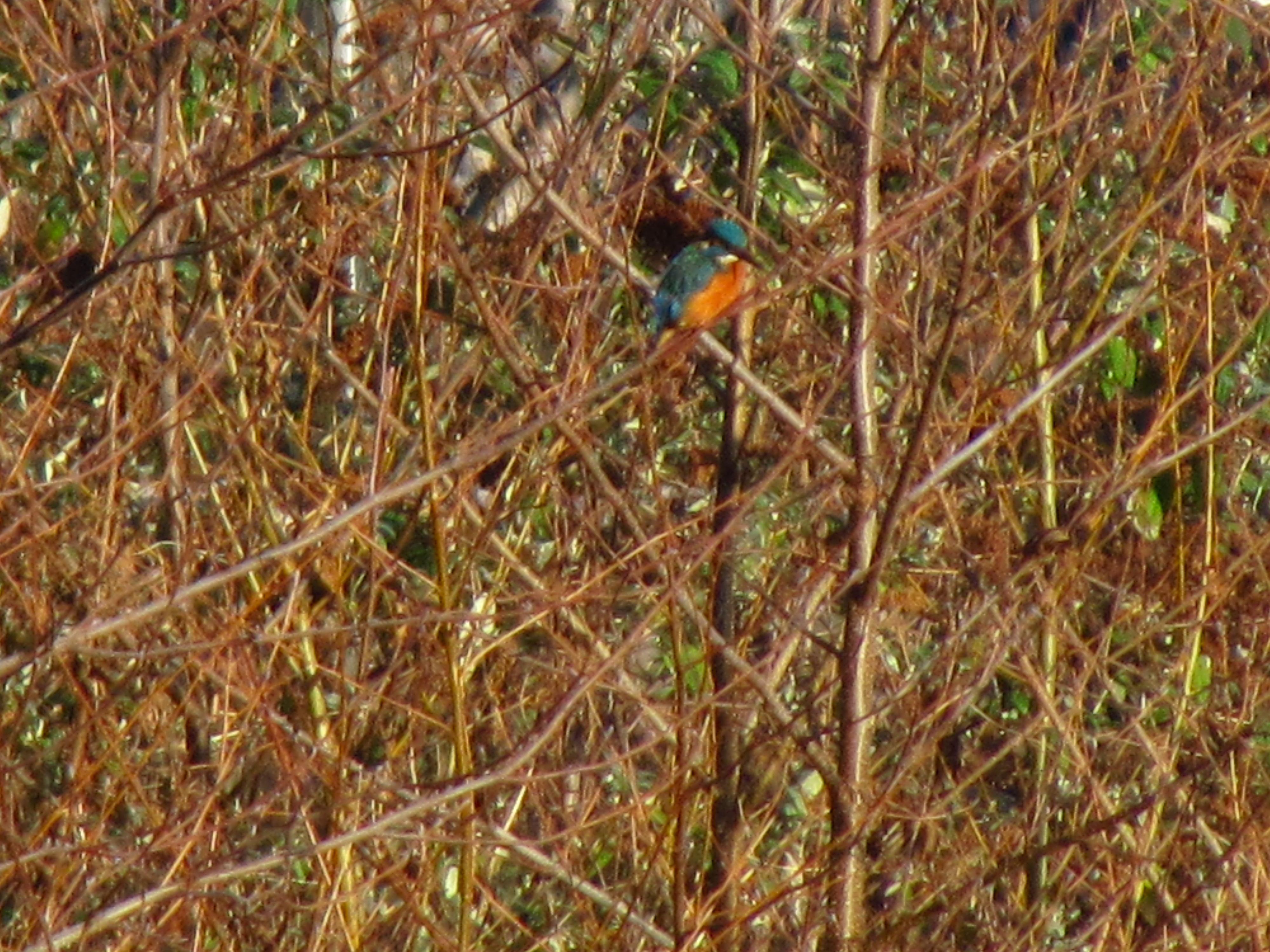 Kingfisher Clydach 29.12 (4)