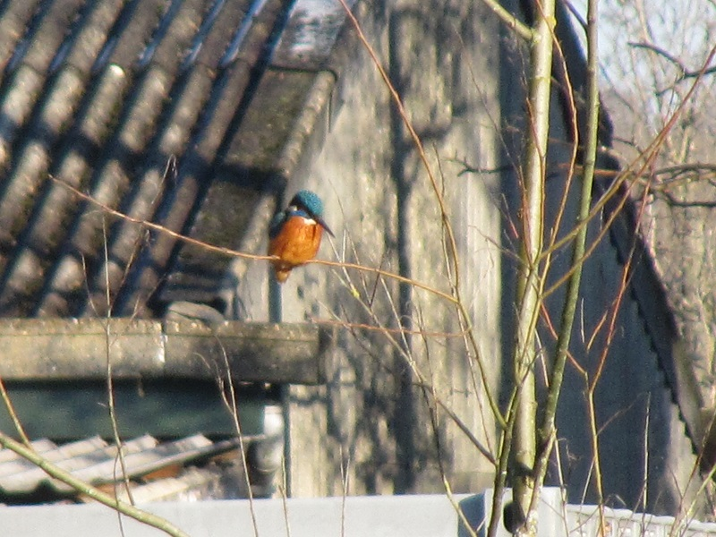 Kingfisher Clydach 29.12 (6)