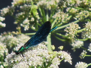 Damsel fly and Cow Parsley 30.6 (1)