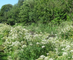 Cow parsley, Clydach