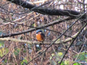 Kingfisher, Clydach