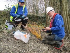 Planting willows