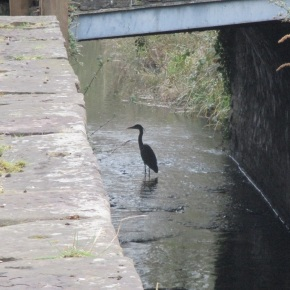 Heron at CVlydach Lock